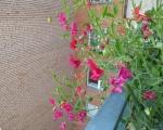Душистый горошек: посадка и уход на балконе