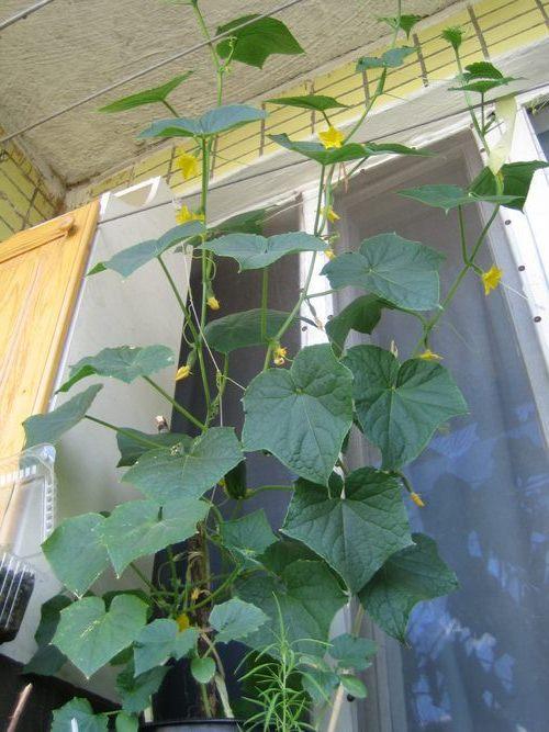 Кустовые огурцы для выращивания в домашних условиях.