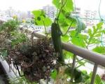 Огурцы летом на открытом балконе