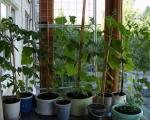 Балконные огурцы в цветочных горшках