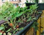 Домашняя клубника на балконе