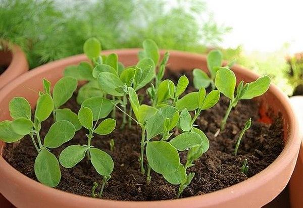 как вырастить душистый горошек на балконе