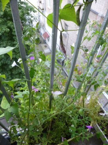 Спаржевая фасоль выращивание на балконе 62
