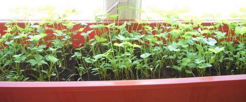 Выращивание петрушки в домашних условиях 100