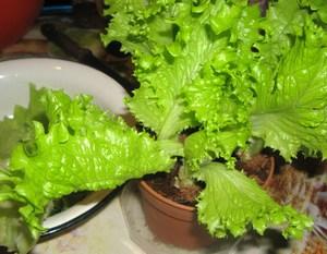 выращивание зелени на балконе