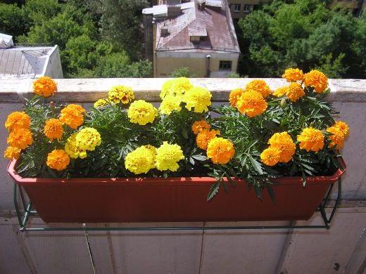 цветы для балконов