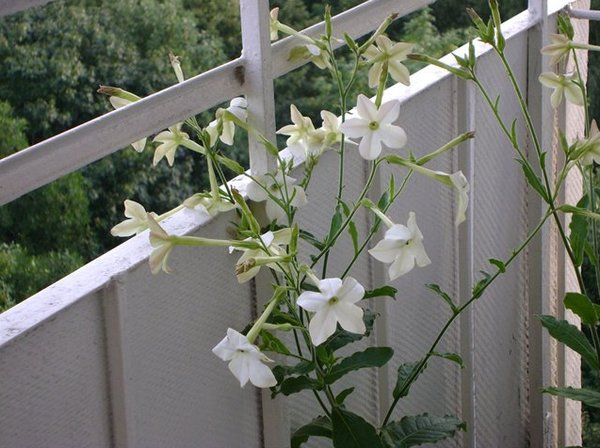 какие цветы можно выращивать на балконе