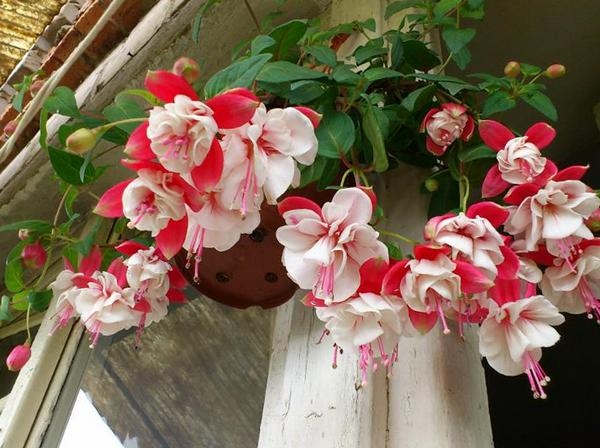 цветы для балкона северная сторона