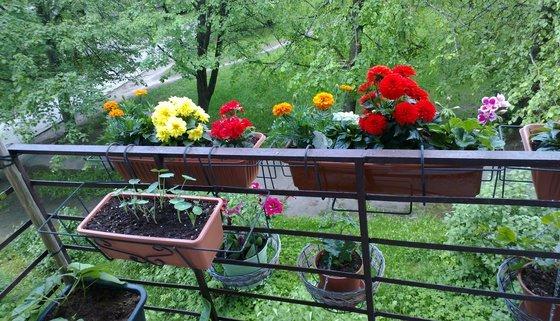 vyirashhivanie-tsvetov-na-balkone-7.jpg
