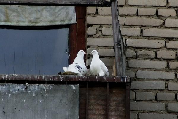 голуби на балконе что делать